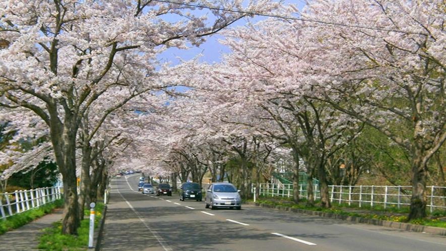 【大畑桜ロード】約1300本、約6kmにもわたる桜並木。春のドライブスポットとして有名です。(見頃は