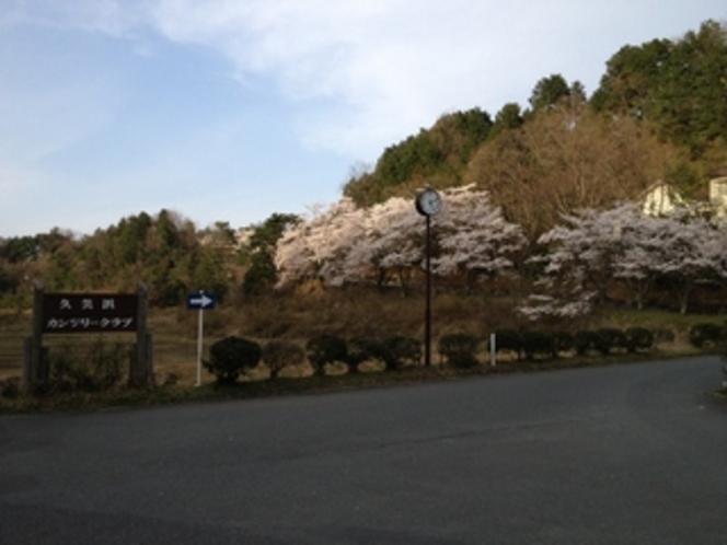 久美浜カンツリークラブ 桜