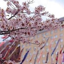定山渓温泉渓流鯉のぼり(春)