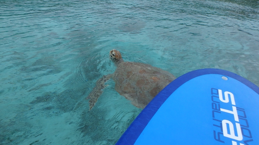 SUP中にウミガメに遭遇!