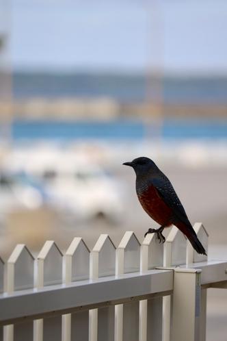 毎朝やってくる小鳥ちゃん。