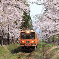 桜と津軽鉄道