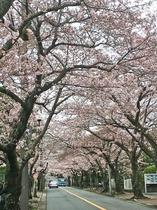 伊豆高原桜並木(当ホテルから車で20分)