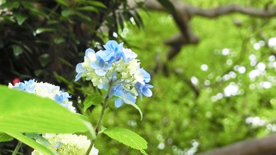 初夏 紫陽花