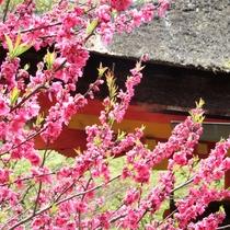 春 遅咲きの…(境内で)