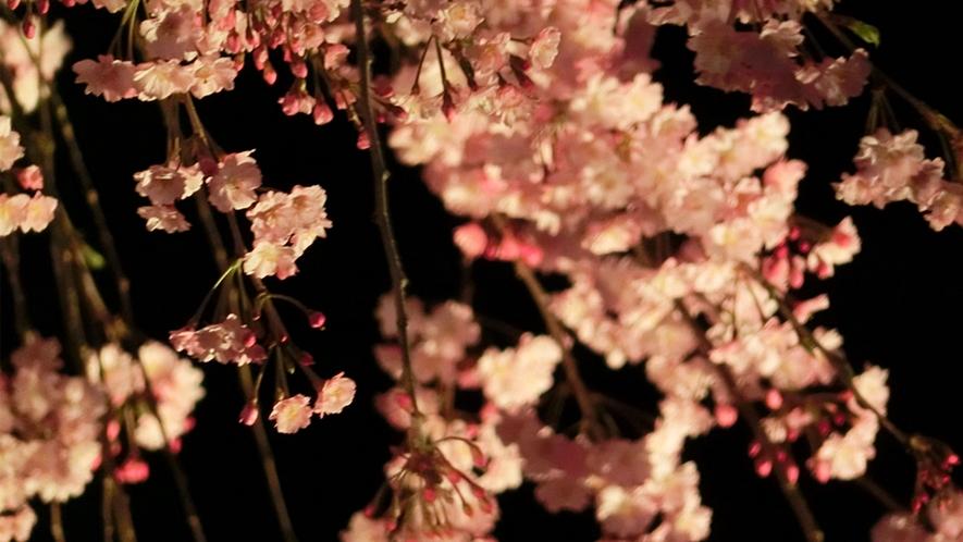 垂れ桜 ライトアップ