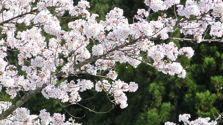 桜(風に舞う)