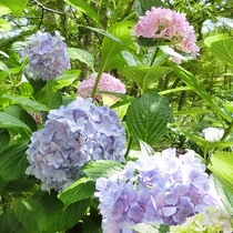 初夏 紫陽花(緑の中で)