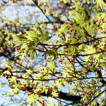春 紅葉の若葉