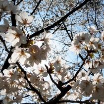 昼下がりの桜