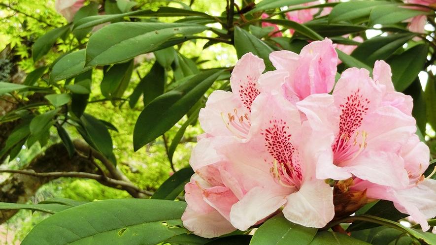 春 石楠花
