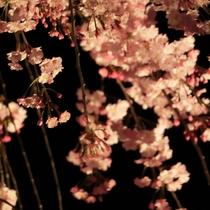 垂れ桜ライトアップ