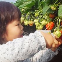 親子で楽しめる!今年こそイチゴ狩りデビュー!