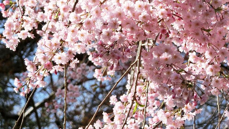 垂れ桜 花盛り