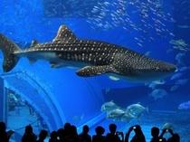 「沖縄美ら海水族館」悠々と泳ぐジンベイザメの黒潮の海大水槽