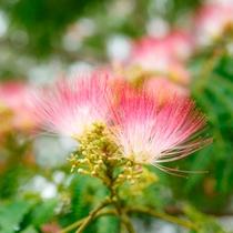 【初夏】敷地内の至るところで、合歓の木の花が見頃を迎えます