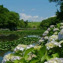 【初夏】里山水生園ではあじさいが見頃を迎えます