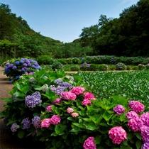 【6月】 里山水生園のあじさいが見頃を迎えます