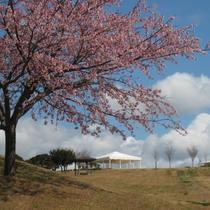 【春】4月上旬 桜開花します