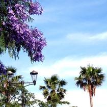 鮮やかな紫のジャカランダは熱海の街中やサンビーチでご覧いただけます。