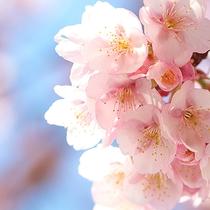 春の訪れには熱海桜が熱海の街中を彩ります。