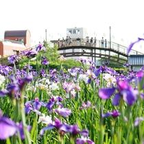 **【前川あやめ園・潮来あやめ祭り】5月下旬~6月下旬には色とりどりのあやめが一斉に咲き乱れます。