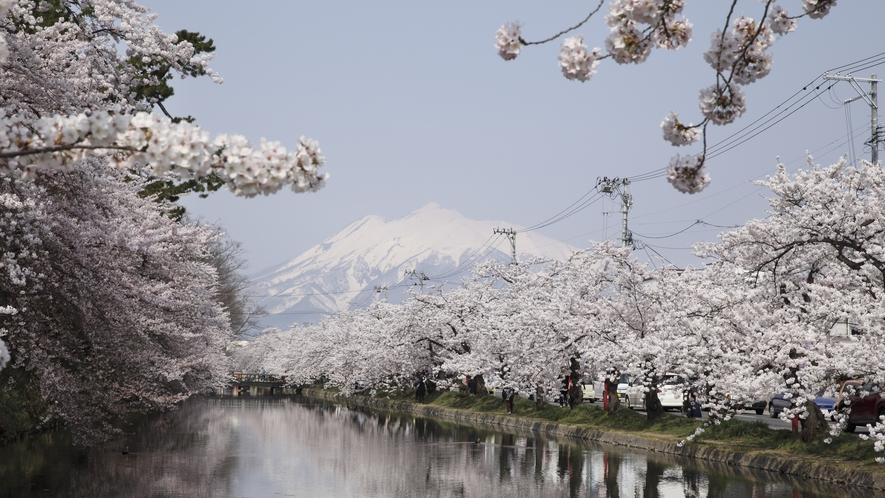 弘前市/弘前公園の桜