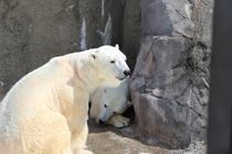 《旭山動物園 シロクマ》