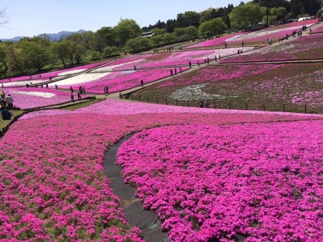 2021年羊山公園芝桜