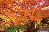 白野江植物公園.(紅葉)