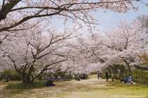 白野江植物公園.(桜)