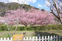 河津桜が裏庭から見られます。2月半ば