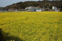 2012年4月4日 菜の花畑