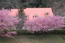 河津桜が咲いたときの外観