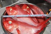 冬もいいサイズの金目鯛仕入れます。