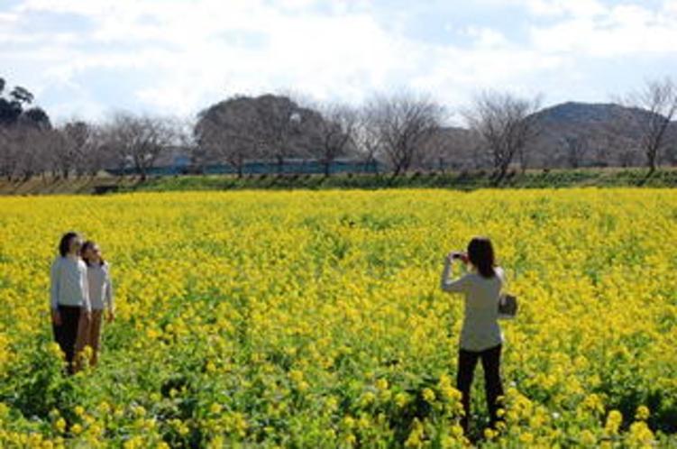 1月後半には菜の花が咲きます。