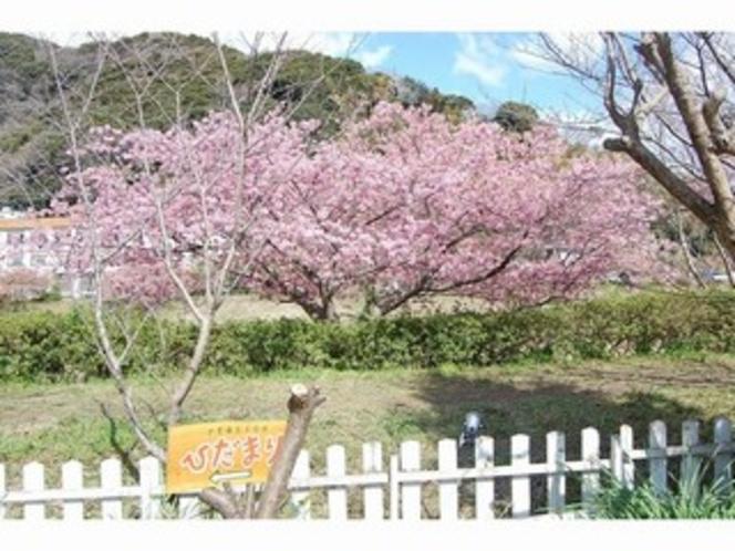 裏庭から河津桜の並木道へ