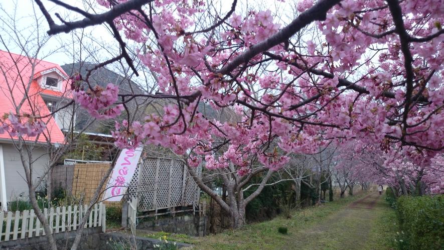 ペンション裏庭からの散歩道は河津桜の並木道