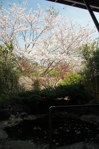 ソメイヨシノが咲くと露天風呂から花見ができます。