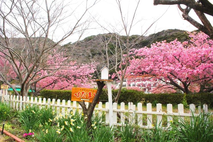 裏庭からそのまま桜並木へ2月10日~3月10日みなみの桜と菜の花まつり