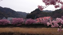 ペンションの裏庭は河津桜とソメイヨシノの桜並木です