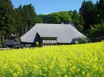 健命寺の菜の花