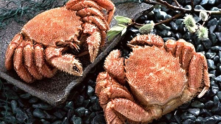 ■宮古毛ガニ/例年1月中旬~3月に掛けて地元田老の漁師さんが獲ってくる三陸宮古『毛がに』は美味!