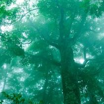 *世界自然遺産登録地域のブナ林