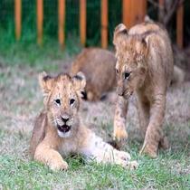 **富士サファリパーク/当館から車で10分!ライオンやチーターなど様々な動物を見ることができます♪
