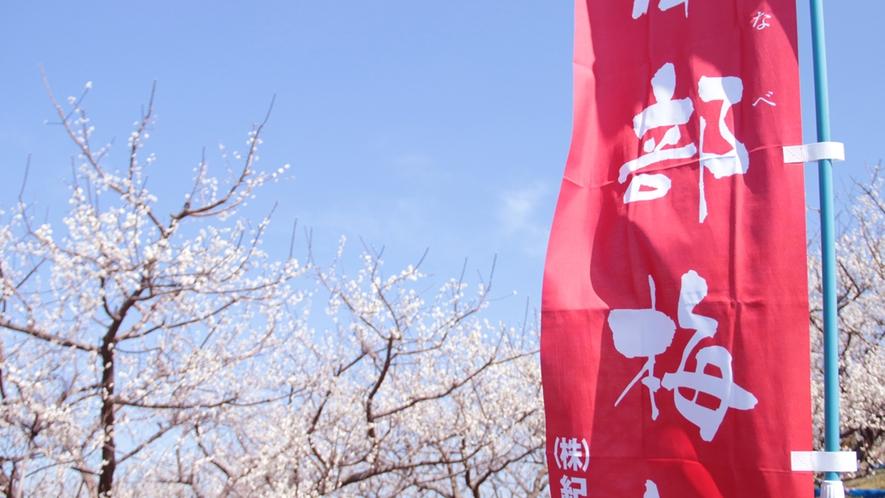 ★日本一の梅の里「みなべ梅林」2018年2月27日撮影★