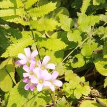 海岸への道沿いに咲く、小さな花