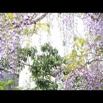 藤が綺麗に咲きます