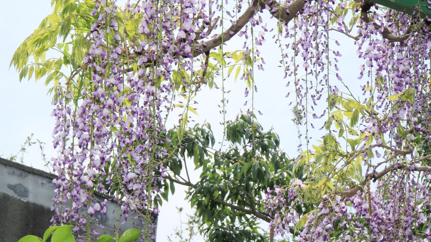 ■藤の花が綺麗に咲きます