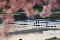 京都の春 鴨川と桜